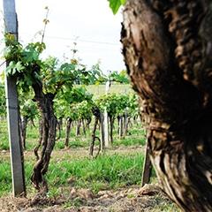 Vignes Préphylloxérique - Tannat originel - Chez Madiran