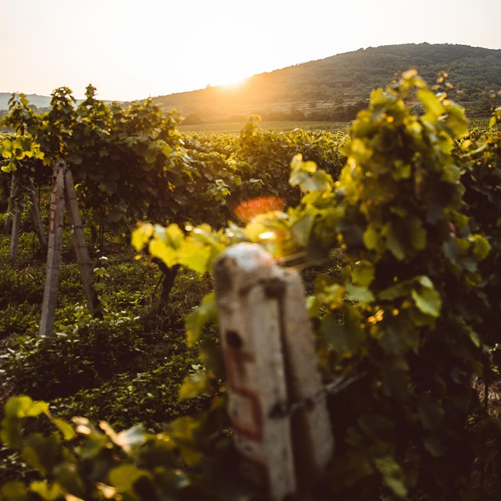 balade dans les vignes - Madiran